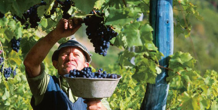Dove fare la vendemmia?